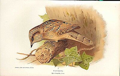 Old Antique Print Wryneck Lilfords Birds 1885-97 By A Thorburn 059011