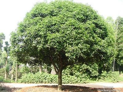 20 seeds Camphor Tree seed Cinnamomum camphora Tropical Seeds