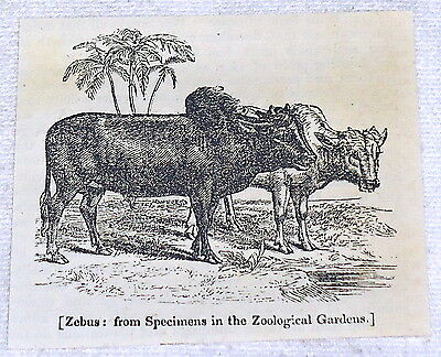 1832 small magazine engraving ~ ZEBUS humped cattle in pasture