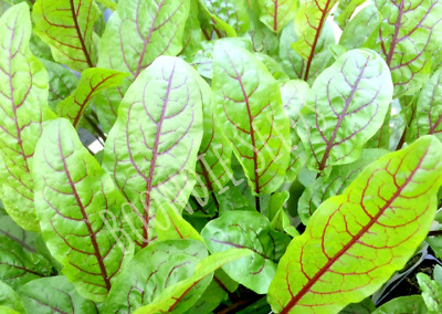 GARDEN SORREL Red Veined 100 seeds edible vegetable garden salad green SUPERFOOD