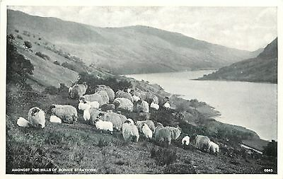 p1289 Sheep, Hills of Bonnie Strathyre, Scotland postcard