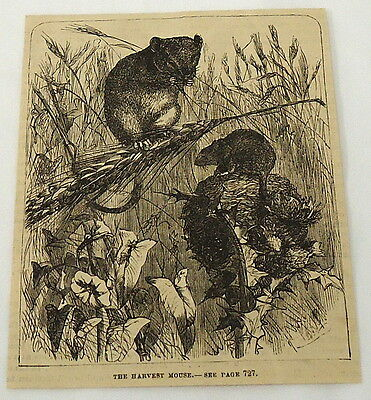 1881 magazine engraving ~ TWO HARVEST MICE in a wheat field
