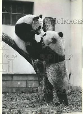 1988 Press Photo Brother panda bears play in China's Wolong Nature Reserve