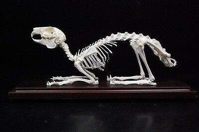 Real rabbit skeletons,with case and base,good taxidermy, specimen