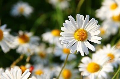 SHASTA DAISY 150+ seeds PERENNIAL flower garden rockery white EASY CARE cottage