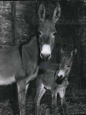 1956 Press Photo Two donkeys.  Mother and Daughter.  - mja73122