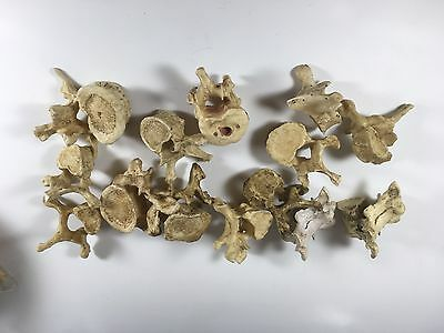 BONES Television Series Prop Vertebrae Made By Kevin Yagher Effects