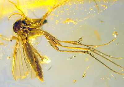 Fossil Insect In Baltic Amber 45-55 Millions Years Old(3378 )