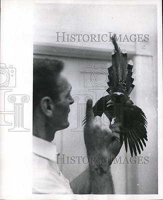 1964 Press Photo Red Billed Blue Magpie Bird from India with Trainer - mjb32342