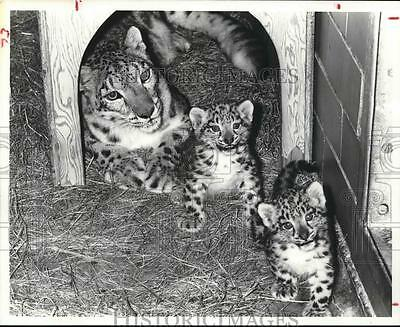 1979 Press Photo Snow Leopard with her cubs in Houston Zoo - hcx04894