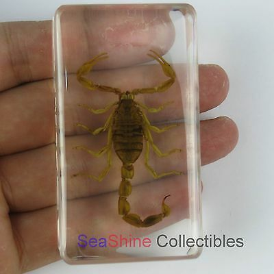 Real Insect specimen - chinese golden scorpion (Mesobuthus martensii) 73*41mm