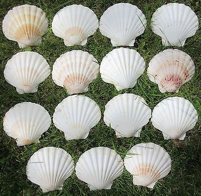 15 Large Scallop Shells