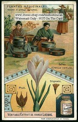 Saffron Crocus Spice Herb Drug Pharmacy 1905 Trade Ad Card