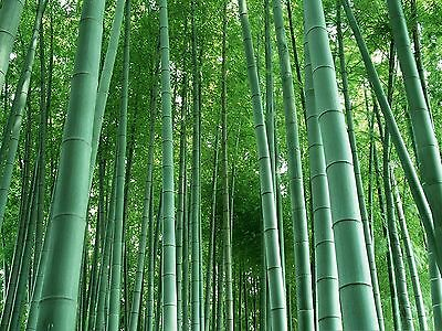 100-10000 Moso bamboo Seeds Phyllostachys Pubescens Giant