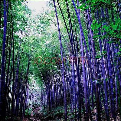 RARE Purple Bamboo, Timor Bambusa Lako - 1000  Viable Seeds