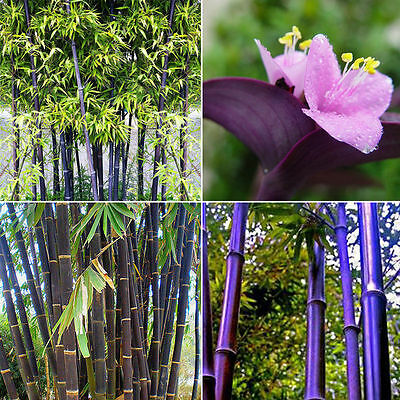 RARE Purple Bamboo, Timor Bambusa Lako - 50-2000  Viable Seeds