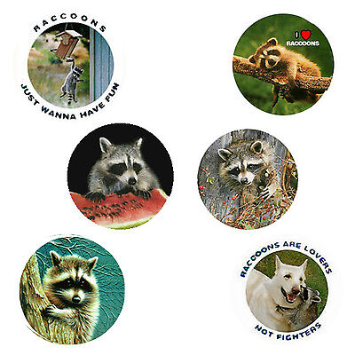 Raccoon Magnets: 6 Cool Raccoons  for your Fridge or Collection - A Great Gift