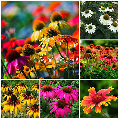 300Pcs Coneflower Seeds Mixed Decor Flower Plant Echinacea Purpurea Garden New