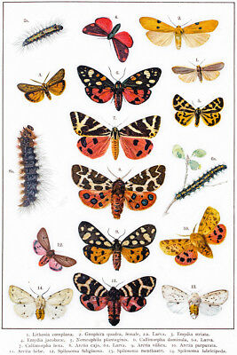 Tiger Moth Other Butterflies 19th Century Illustration Art Print Poster 12x18