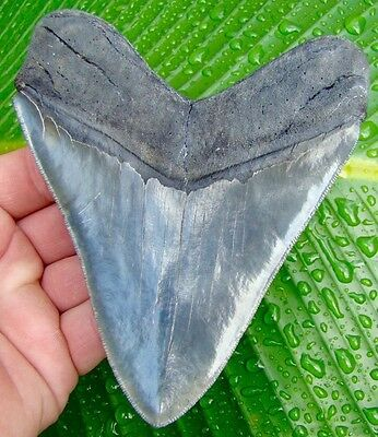 HUGE - OVER 5 & 3/16  in. ULTRA SERRATED Megalodon Shark Tooth -   * 100% REAL *