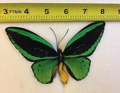 Ornithoptera Priamus Poseidon Butterfly Male Framed