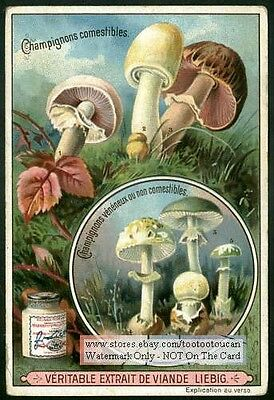 Mushrooms Fungi Mycology Champignon BEAUTIFUL c1900 Trade Ad  Card