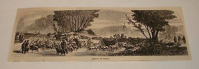 1877 magazine engraving ~ ARRIVAL OF CATTLE