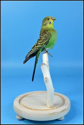 taxidermy bird parakeet mounted in glass dome free shipping special gift G#