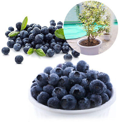 50Pcs Blueberry Tree Seed Fruit Blueberry Seeds Home Potted Bonsai Plant Fancy00