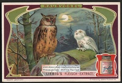 Birds of Prey OWLS Great Horned - Snowy White 1905 Trade Ad Card