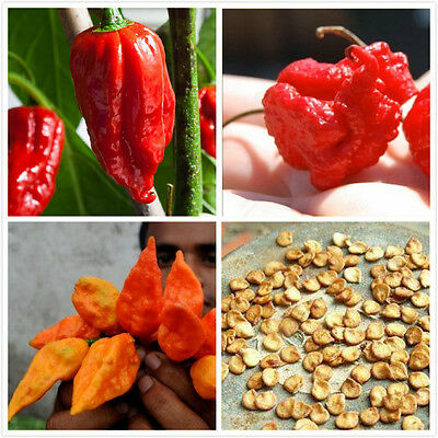 100X Bhut Jolokia Red Ghost Pepper Seeds Hot Big Red Chili Seeds Garden Plants