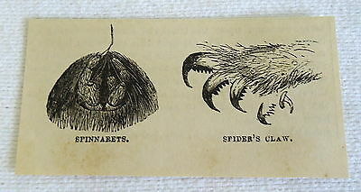 small 1882 magazine engraving ~ SPINNARETS + SPIDER'S CLAW