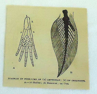 1880 small magazine engraving ~ DIAGRAM OF FORE-LIMB OF ANPHIBIAN & CERATODUS