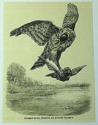 1886 magazine engraving ~ AMERICAN SPARROW-HAWK STRIKING AT ENGLISH SPARROW