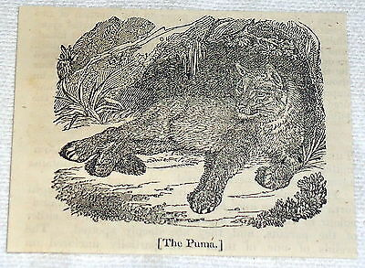 1832 small magazine engraving ~ THE PUMA lying in shade