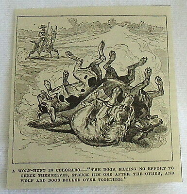 small 1882 magazine engraving ~ WOLF-HUNT IN COLORADO wolf & dogs rolling