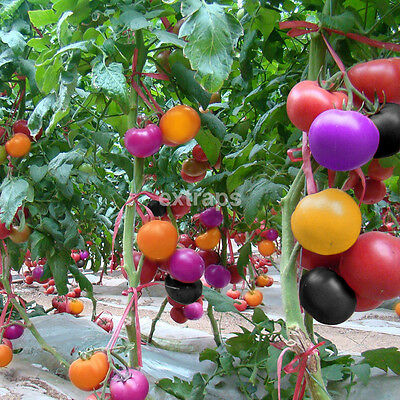 100Pcs Rainbow Colors Tomato Seeds Bonsai Organic Vegetables Seed Home Garden