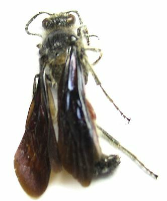 a022 Scoliidae species? 19mm