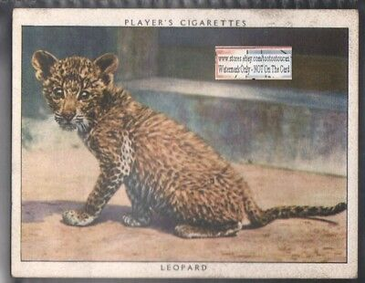Young Baby Leopard  1938 Trade Advertising Card