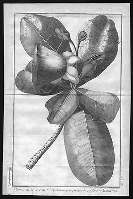 1780 Tahiti plant botany Pflanze French Polynesia Kupferstich antique print Cook