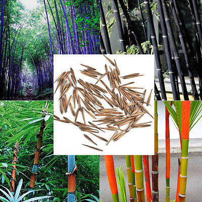100PCS Phyllostachys Pubescens Moso-Bamboo Seeds Black Tinwa Garden Plants Seeds