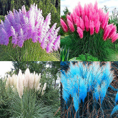 500~2000 Pampas Ornamental Seeds Bonsai Garden Plant Cortaderia Selloana Grass