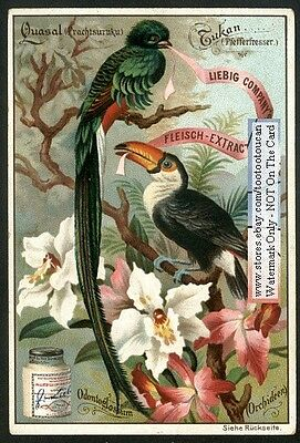 Toucan - Tucan Resplendent Quetzel Blooming Orchid WONDERFUL c1896 Card