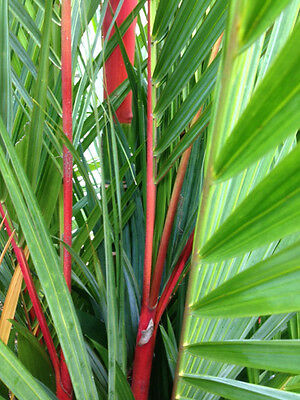 "Cyrtostachys renda ""Lipstick Palm"" ""Sealing Wax Palm"" Tropical Landscaping Palm"