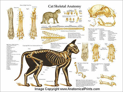 "Cat Skeletal Veterinary Anatomy Poster 18"" X 24"" Wall Chart"