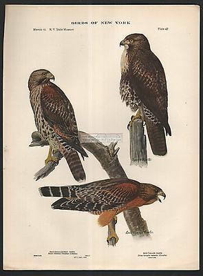 HAWKS Red Shouldered and Red Tailed Raptor Bird Print c1914 by L. A. Fuertes