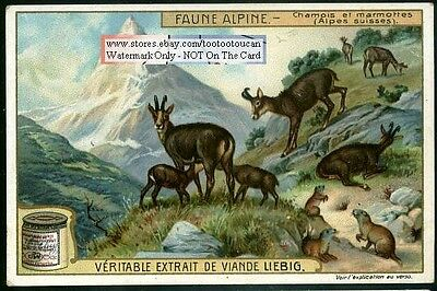Chamois And Marmots In The Swiss Alps1920s Trade Ad Card
