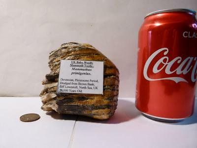 Antique Fossil Woolly Mammoth Tooth Dredged from Brown Bank North Sea #sm