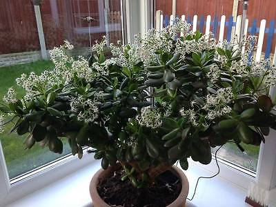 Indoor plant~Jade Plant (money plant) ~ 5 baby plants