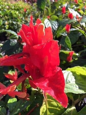 "Ruellia chartacea ""Lobster Claw Plant"" Tropical colorful scrambling shrub"